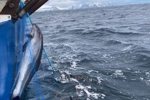 Delfinens nære slektning dør i tusentall i norske fiskegarn. Nå er en løsning funnet.
