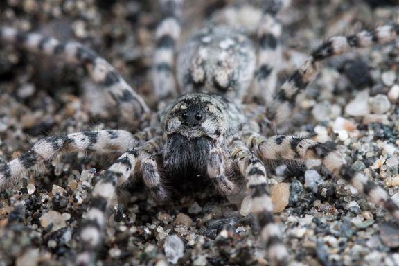 Nå har alle edderkopper fått norske navn. Hils på kameleonen, kannibalen og smaragden!