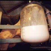 Flått-virus oppdaget i melk fra norske bondegårder