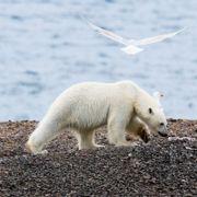 Isbjørn jaget ut av Longyearbyen