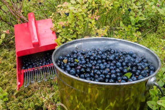 Aggressiv blindpassasjer truer norske blåbær
