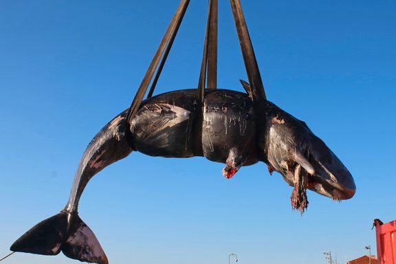 Hval funnet død med 22 kilo plast i magen