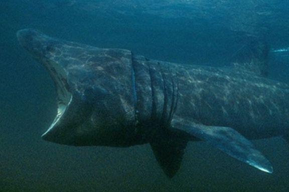 Badesesongen nærmer seg. Meld fra om du støter på denne monsterfisken.
