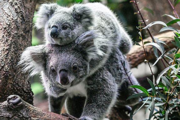 Klimaendringer, avskogning og klamydia: Koalabjørnene er truet med utryddelse