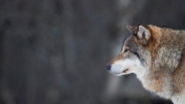Rovviltnemnder på Østlandet åpner for felling av 36 ulver