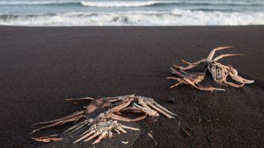 Surfere klaget på svie og kløe. Så dukket de døde krabbene opp.