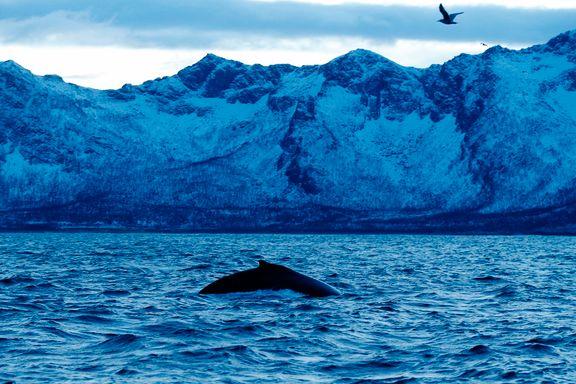 Temperaturen i Norskehavet har ikke vært kaldere på over 20 år. Hva er det som foregår?