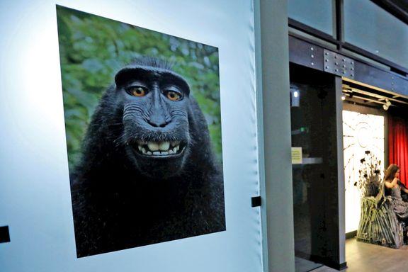 Selfie-apen får ikke opphavsretten til eget bilde