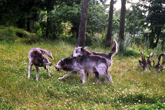 Over hundre ordførere protesterer mot ulvevedtak