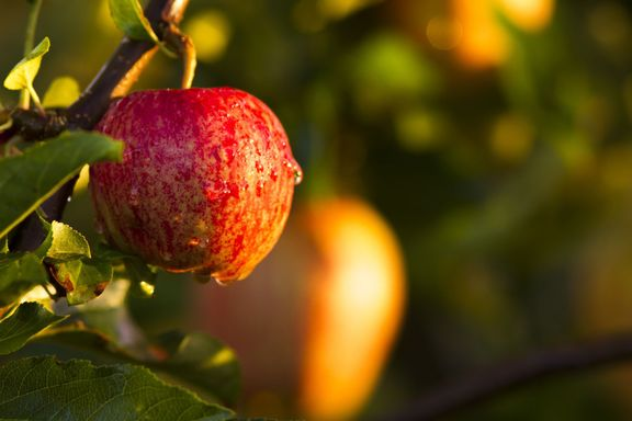 Dette kan du gjøre med eplene i hagen din