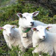 Norge har importert nesten 100 tonn sauekjøtt fra New Zealand