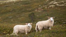 Antall rovdyrtap i Norge halvert siden 2007