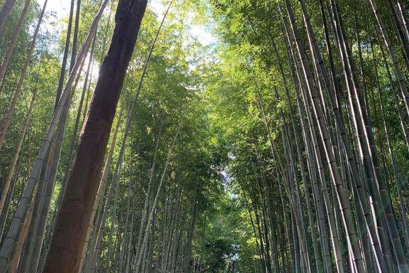 Skogsbad er en etablert praksis i Japan. Det er blitt manges metode for å passe på helsen sin.