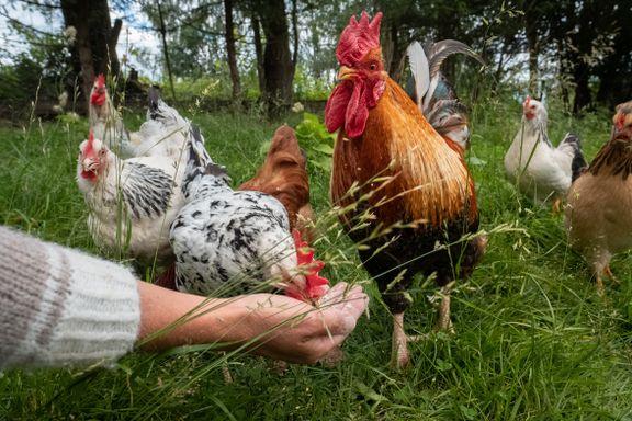Drømmer du om høner i hagen? Slik lykkes du med hobbyhøns.