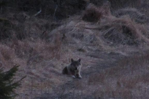 Ekspert: Denne ulven er det viktig å følge med på
