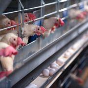 Orkla dropper egg fra høner i bur