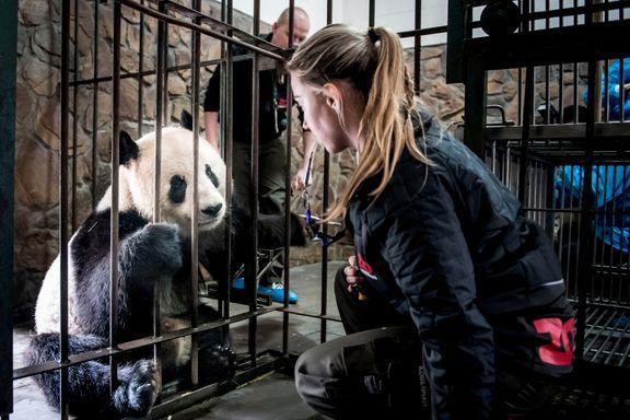 København Zoo har fått låne to pandaer. Hva er prisen for denne eksklusive kinesiske gaven, spør danskene.