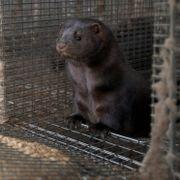 Enighet mellom Frp og regjeringen om kompensasjon til pelsdyrbøndene