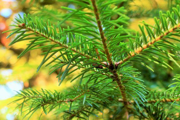 Frykten for at dette treet skal ødelegge norsk natur er overdrevet