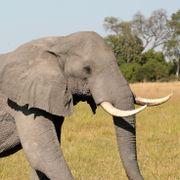 Uforklarlig massedød blant elefanter – søker internasjonal hjelp