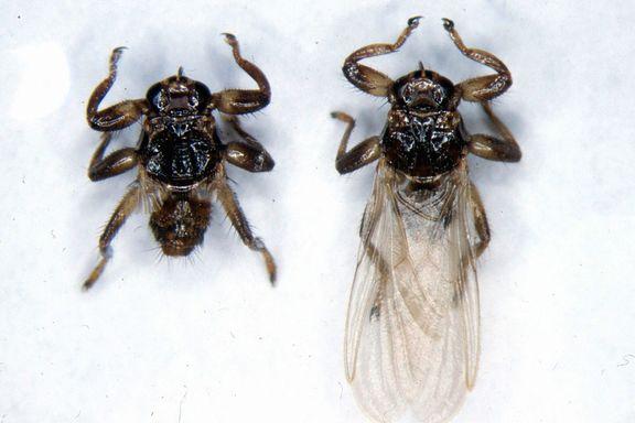 Nå angriper denne fluen – ta med kam på soppturen
