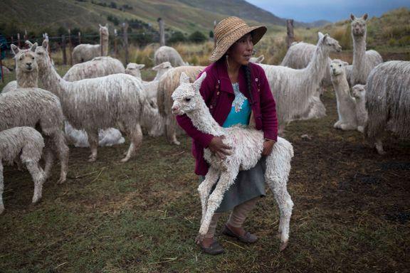 50.000 alpakkaer døde i Peru