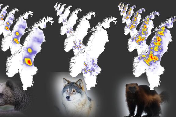 Nå kommer «værmeldingen» for ulv, bjørn og jerv