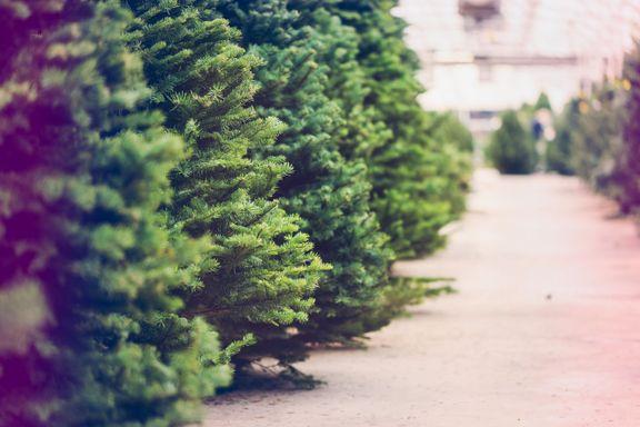 Eksperten svarer: Slik får du juletreet til å vare lenge