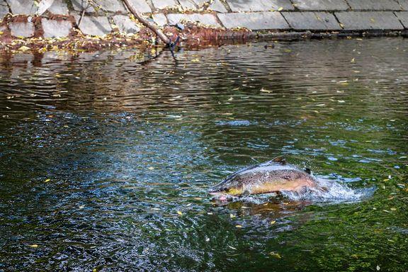 Her kan du fiske laks nær Oslo i sommer