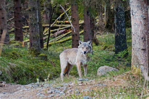Fikk unike ulvebilder på kloss hold: Her poserer Østmarka-ulven for Marie Helena Walle