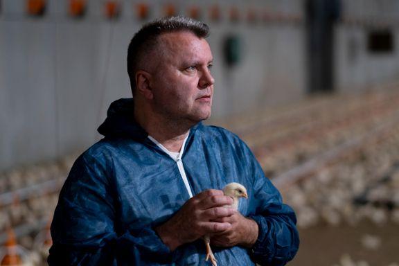 Høyere dødelighet blant kyllinger: Produsentene nekter å fortelle hvor mange som er døde