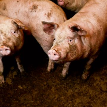 Hvordan vet du om grisen du spiser har hatt det bra?