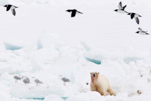 Isbjørn med egg på menyen - truer ærfuglen og gåsa