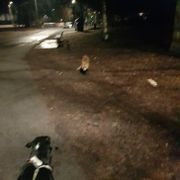 Aggressiv rev drepte hund på Bygdøy