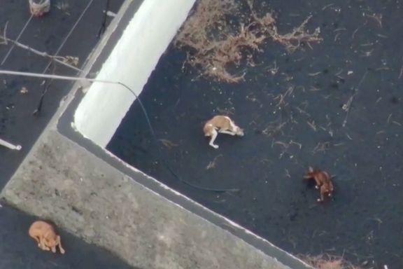 Utmagrede hunder er fanget mellom lavastrømmer. Droneselskap vil bryte loven for å redde dem.