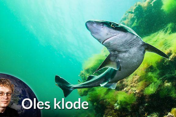 Hei, jeg er en norsk hai!