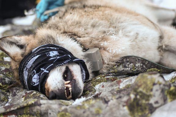 Venstre: Helgesens ulveforslag strider mot samarbeidsavtalen