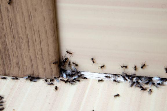Hvordan bli kvitt maur? Her får du svar
