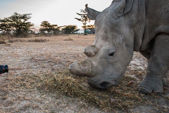 Det oppstod et rykte om at hornet kunne kurere kreft. Det ble en katastrofe for Afrikas neshorn.