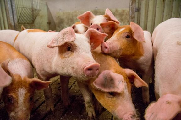 Lokale råvarer gir bedre kjøtt og dyrehelse