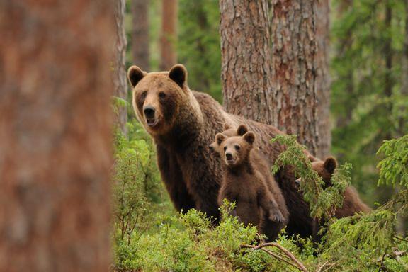 Hannbjørnene med råttent triks: Dreper barna for å få pare seg med moren