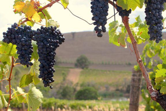 Vinmonopolet er en barriere mellom de små vinbøndene og kundene.
