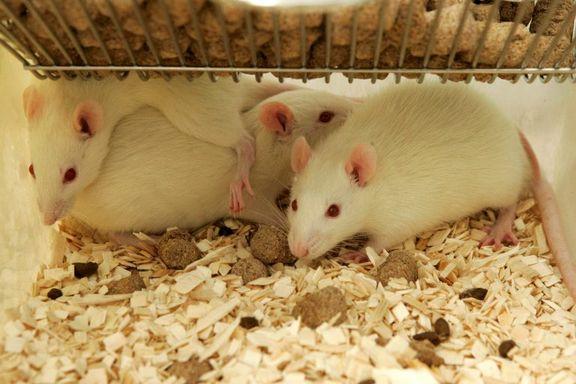 Snart trenger vi kanskje ikke å teste medisiner på dyr
