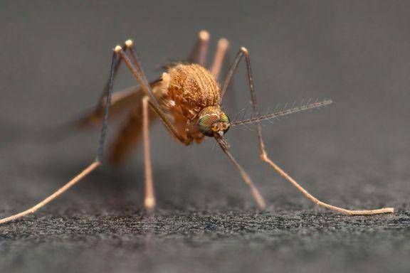 Norge var herjet av malaria på 1800-tallet. Kan det skje igjen?