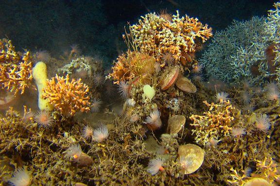 Miljøvernere tror det neste, store oljeslaget vil stå om korallrevet utenfor Træna