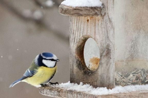 Nå er det utfordrende å være småfugl -  Slik hjelper du gjestene på fuglebrettet best.