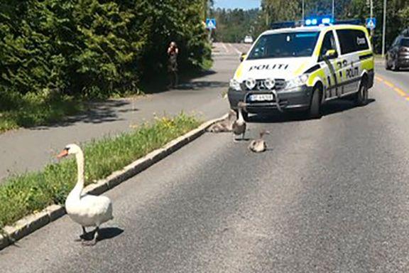 Fem svaner fikk politieskorte