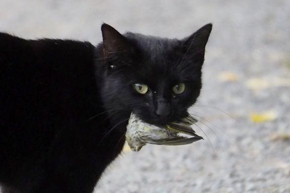 Denne katten ble tatt på fersken: Nå risikerer den båndtvang