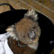 Nye koaladødsfall vekker oppsikt. Tusenvis er alt drept i skogbrannene.