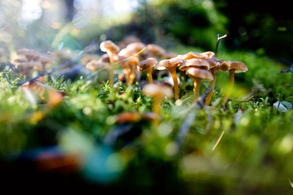 Ørsmå sopptrådar kan halde klimaet i sjakk